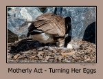 Gallery – Turning Her Eggs