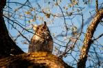 Select – e – Great Horned Owl –DSC_5403
